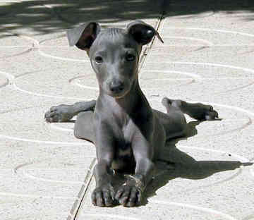 Pictures Of Italian Greyhounds Blue coat Italian greyhound